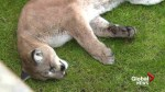 Conservation officers capture cougar in Victoria