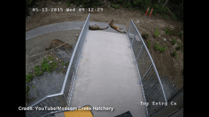 Trio of cougars caught on camera near Port Moody fish hatchery