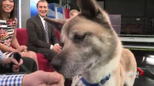 Adopt a Pet: Anna the Akita