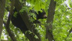 Bear trapped in a tree off St. Mary's Rd