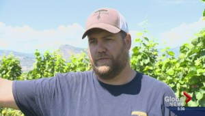 BC wine industry optimistic about 'fantastic' season
