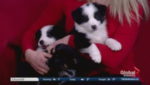 Adopt a Pal: 7 puppies from CAARE Rescue Winnipeg
