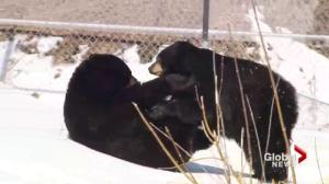 Black bears wake up at Montreal's Ecomuseum
