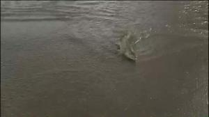 Raw video: Salmon 'swim' across flooded road in Washington