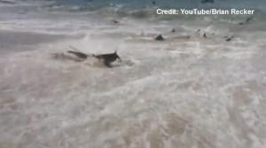 Massive shark feeding-frenzy caught on camera on North Carolina beach