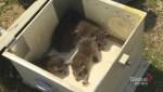 Baby raccoon season in Toronto