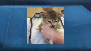 Kitten thrown from vehicle now recovering