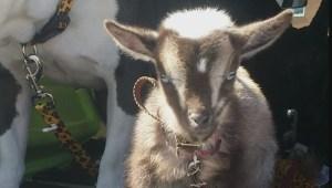 $1,000 reward for missing goat