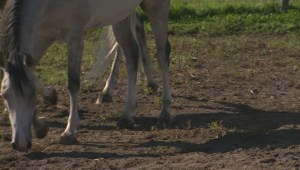 Media event shows off Odysseo horses already in Manitoba
