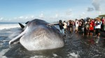 Crowds in Bali surround beached sperm whale, take selfies