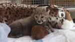 Cincinnati Zoo releases video of newly adopted cheetah cub