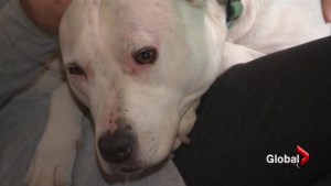 NDG pit bull guardian defends maligned breed
