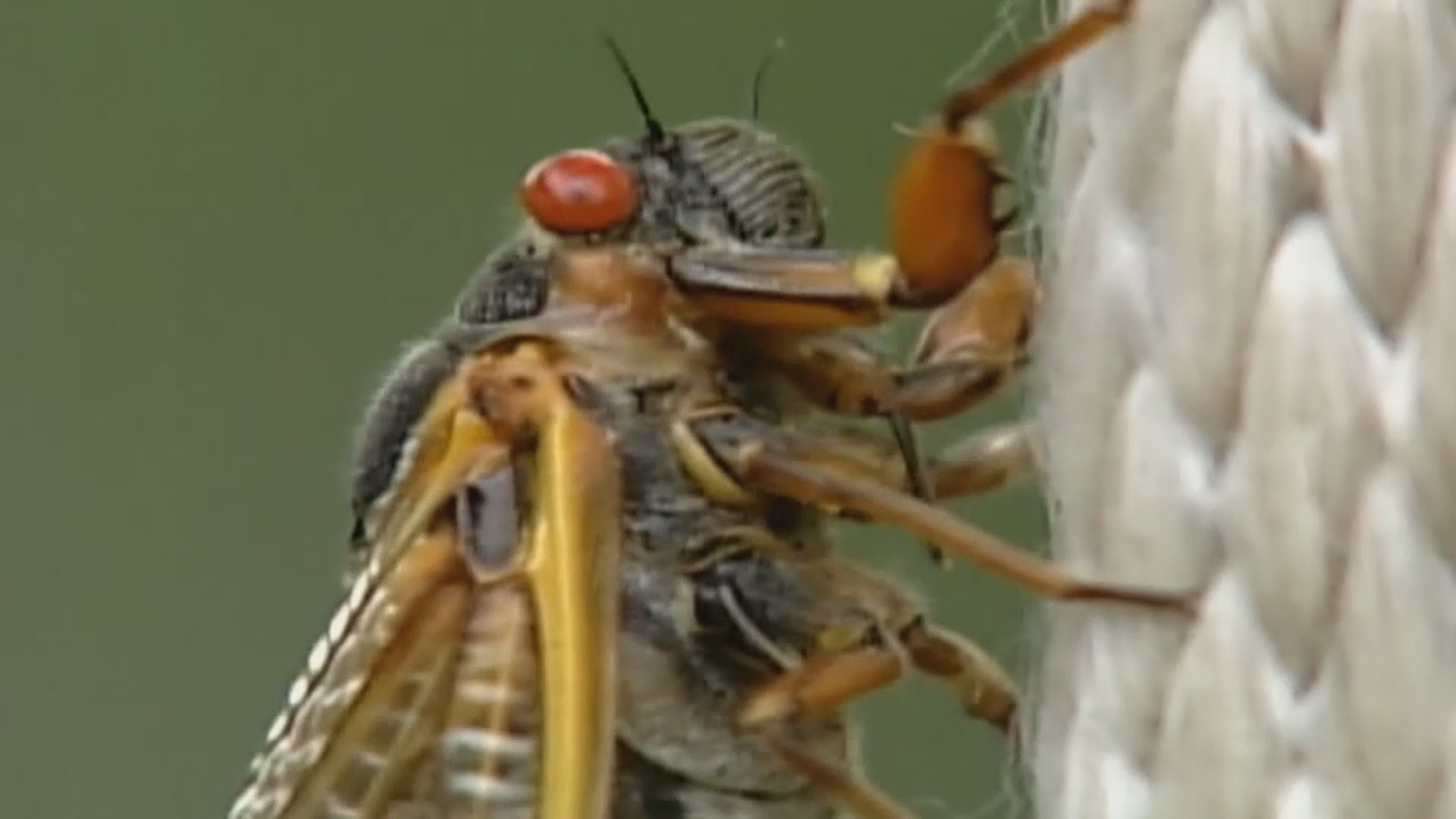 Noisy cicadas emerging after 17 years