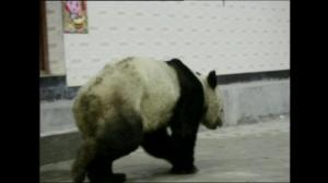 Giant panda strolls into small Chinese village