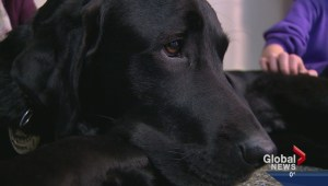 Trauma dog providing comfort to Calgarians