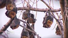 Bat Extinction: Valuable pests still needed