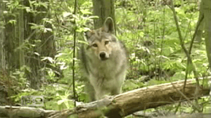 Catching the Coyote: Urban population investigated