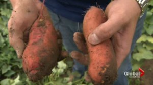 Simply Delicious- Canadian Farming Success Story: Sweet Potato Farmers