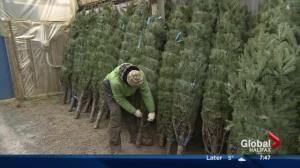 Picking a perfect Christmas tree