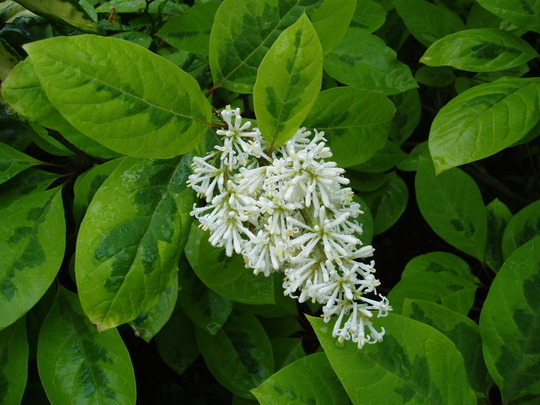 Syringa Variegata (Syringa emodi (Himalayan Lilac))    media