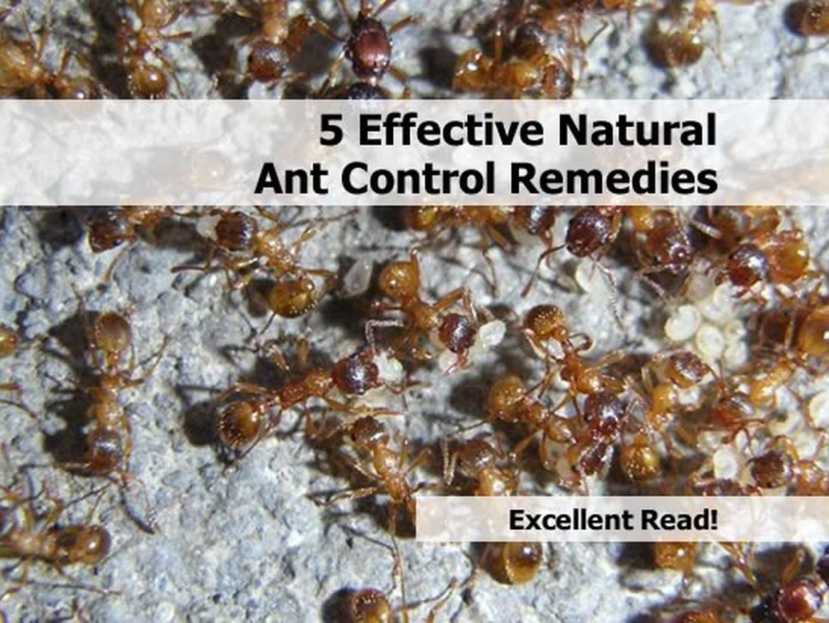 Natural Ant Killer For Yard Yellow Jacket Bee Sting Reaction Home Ant Control