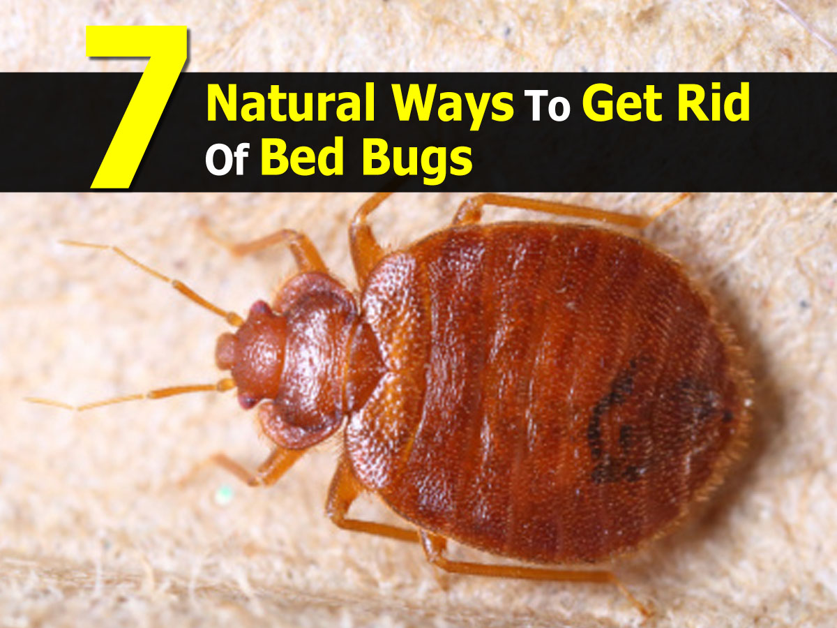 Getting Rid Of Bed Bugs 7 Natural Ways To Get Rid Of Bed Bugs