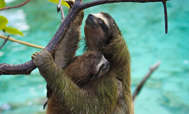 Cute Sloth Wallpaper The Best Animal In Planet Earth Ii The Three Toed Pygmy