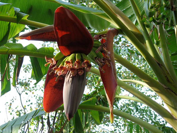 Bleeding Heart Flower Benefits 8 Incredible Health Benefits Of Banana Flower, The