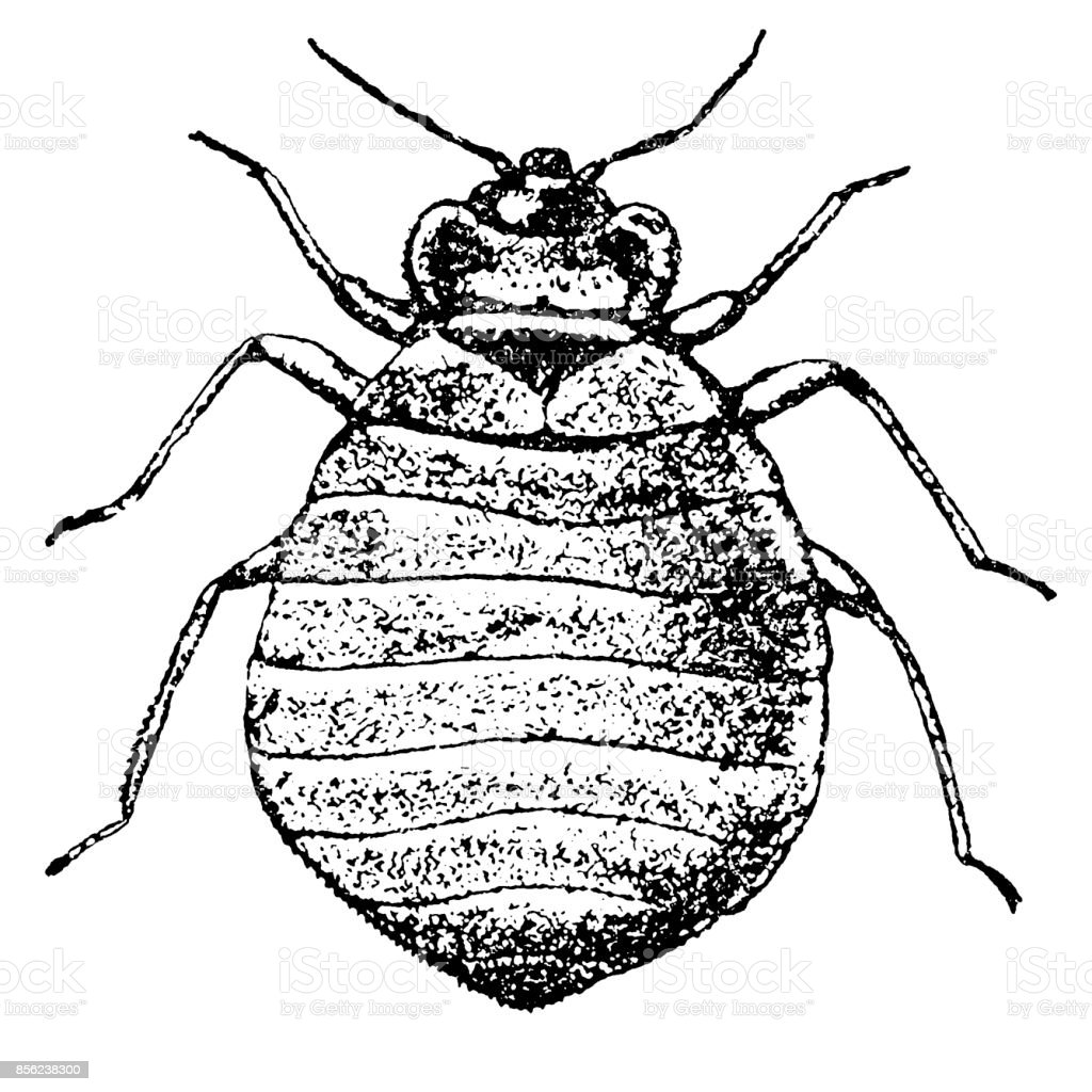 Bilder Bettwanzen Illustration Of A Bed Bug