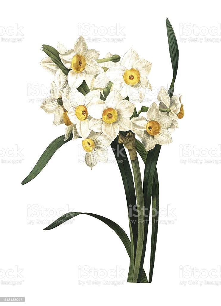 Narcissus Cyclamineus Royalty Free Paperwhite Narcissus Clip Art, Vector Images
