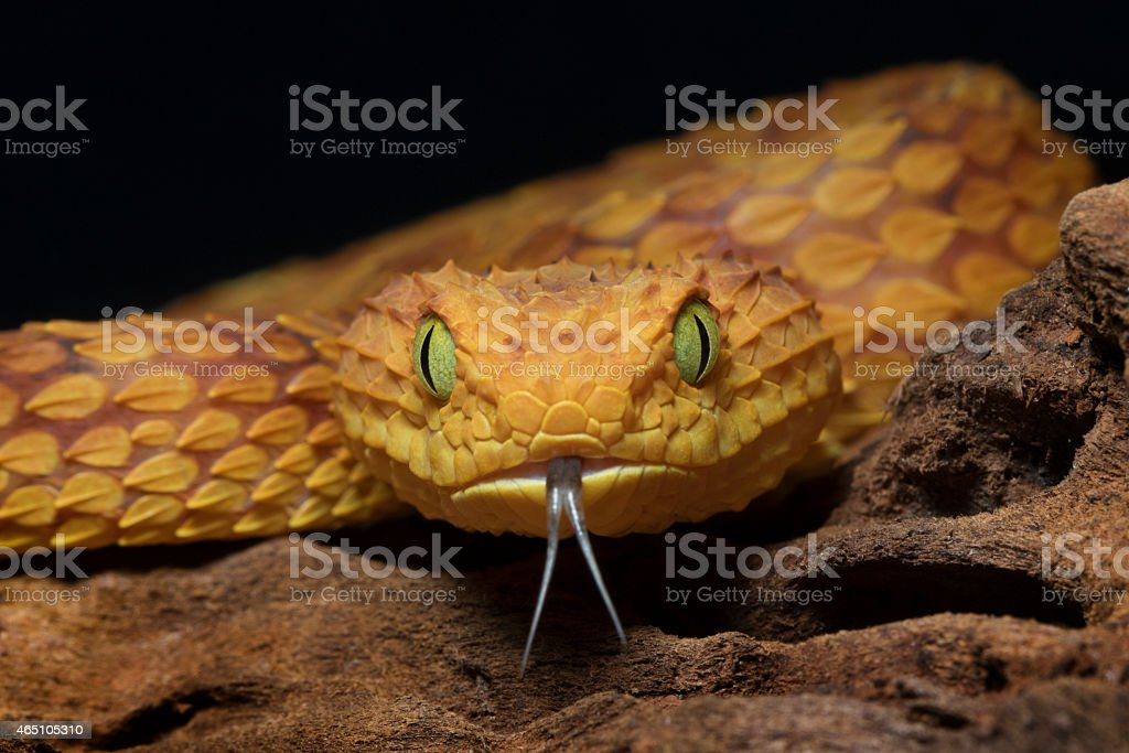 Dj Wallpaper 3d Hd Royalty Free Viper Snake Pictures Images And Stock Photos