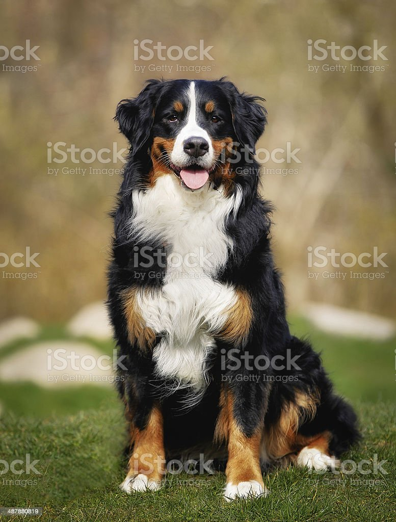 Berner Hund Bernese Mountain Dog Pictures, Images And Stock Photos