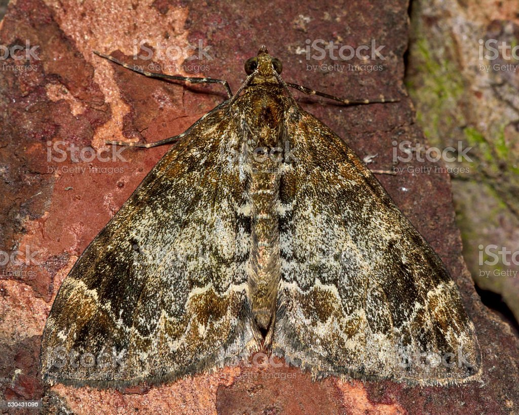 Teppichmotte Common Marbled Carpet Moth Stock Photo Istock