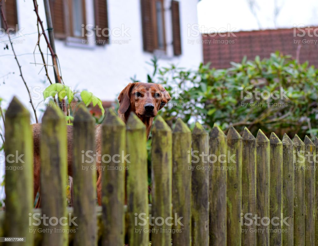 Gartenzaun Für Hunde Hund Am Gartenzaun Stock Photo More Pictures Of Brown Istock