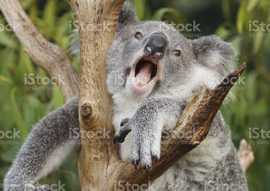 Cute Animated Wallpapers For Mobile Gif Yawning Koala