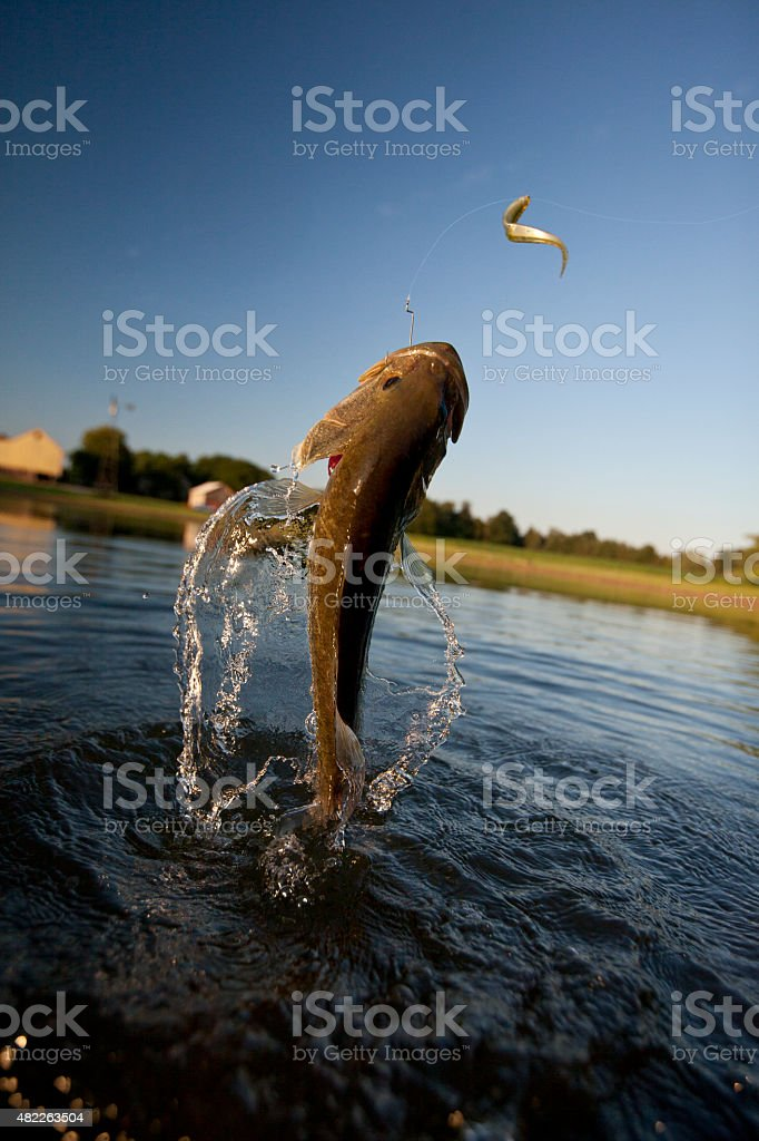 Stock Photo Free For Commercial Use Largemouth Bass Jumping Stock Photo Download Image Now