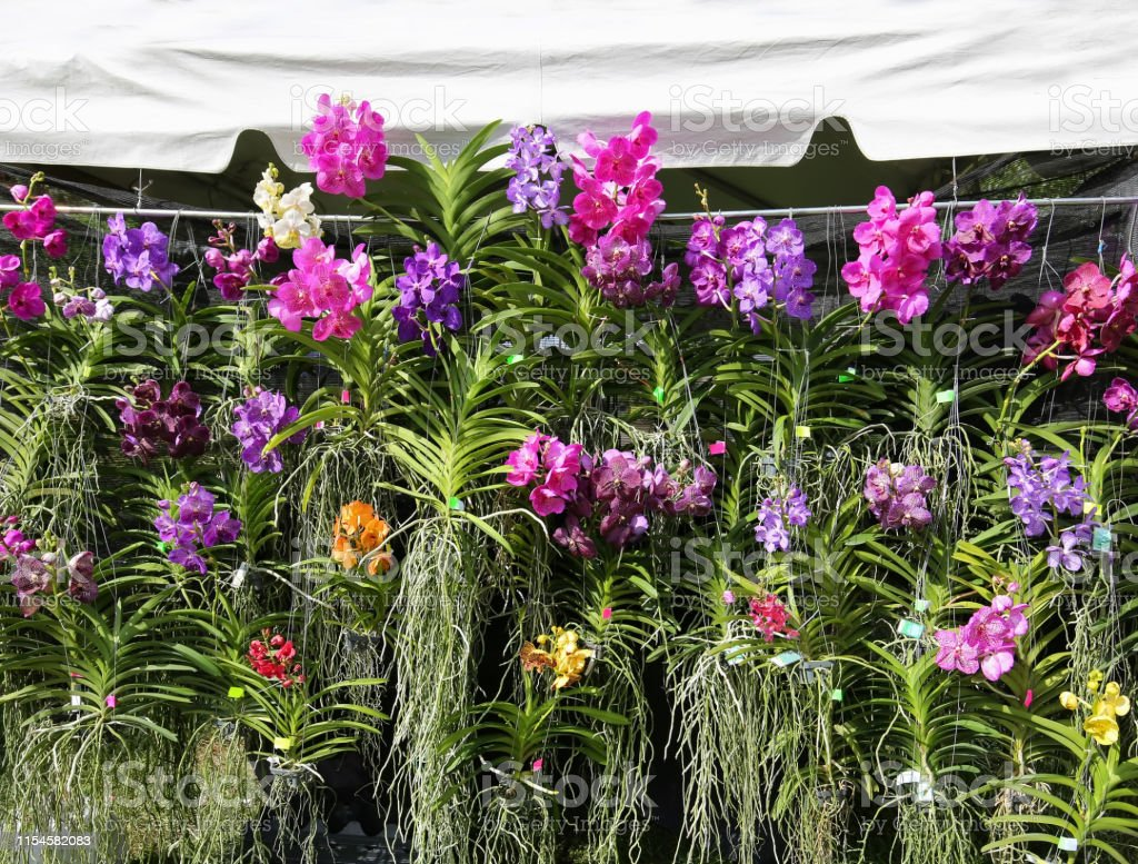 Numerous Blooming Vanda Orchids On Display Stock Photo Download Image Now Istock