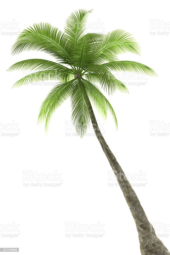 3d Rose Wallpaper Apps Royalty Free Palm Tree White Background Pictures Images