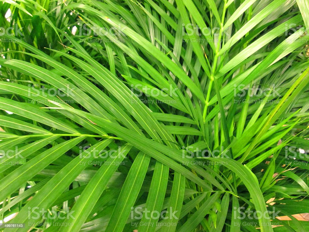 Yellow Palm Areca Palm Chrysalidocarpus Lutescens Potted Green Areca Palm Leaves Fronds Chrysalidocarpus