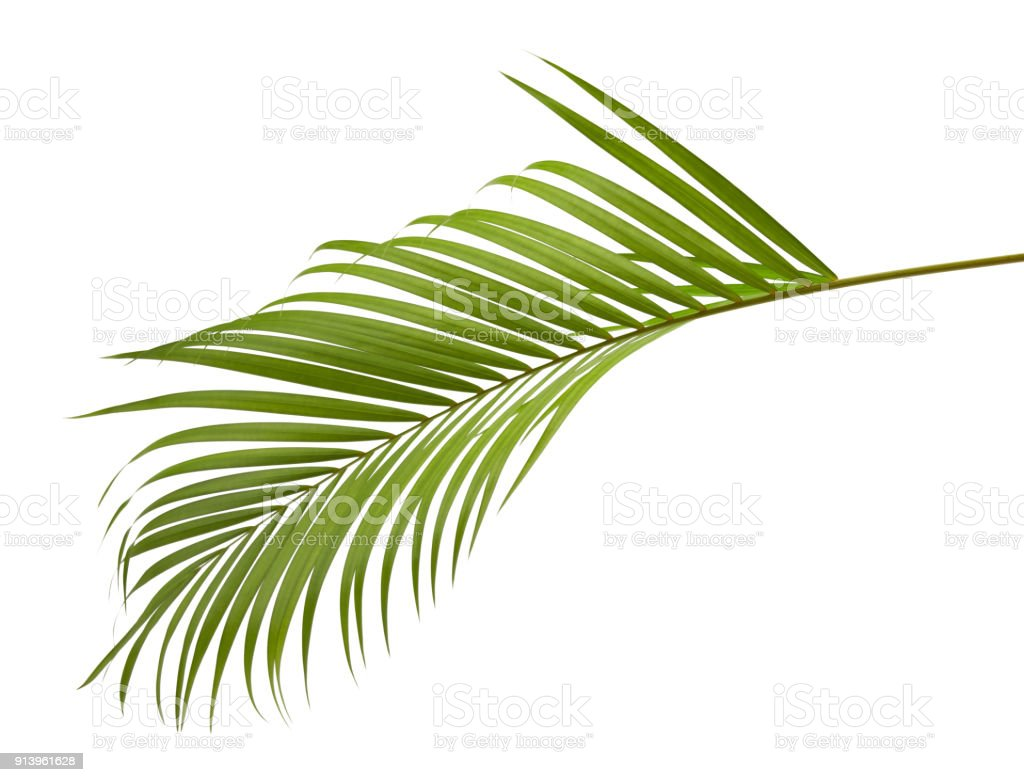 Yellow Palm Leaves Or Golden Cane Palm Areca Palm Leaves Tropical Foliage Isolated On White Background With Clipping Path Stock Photo Download Image Now Istock