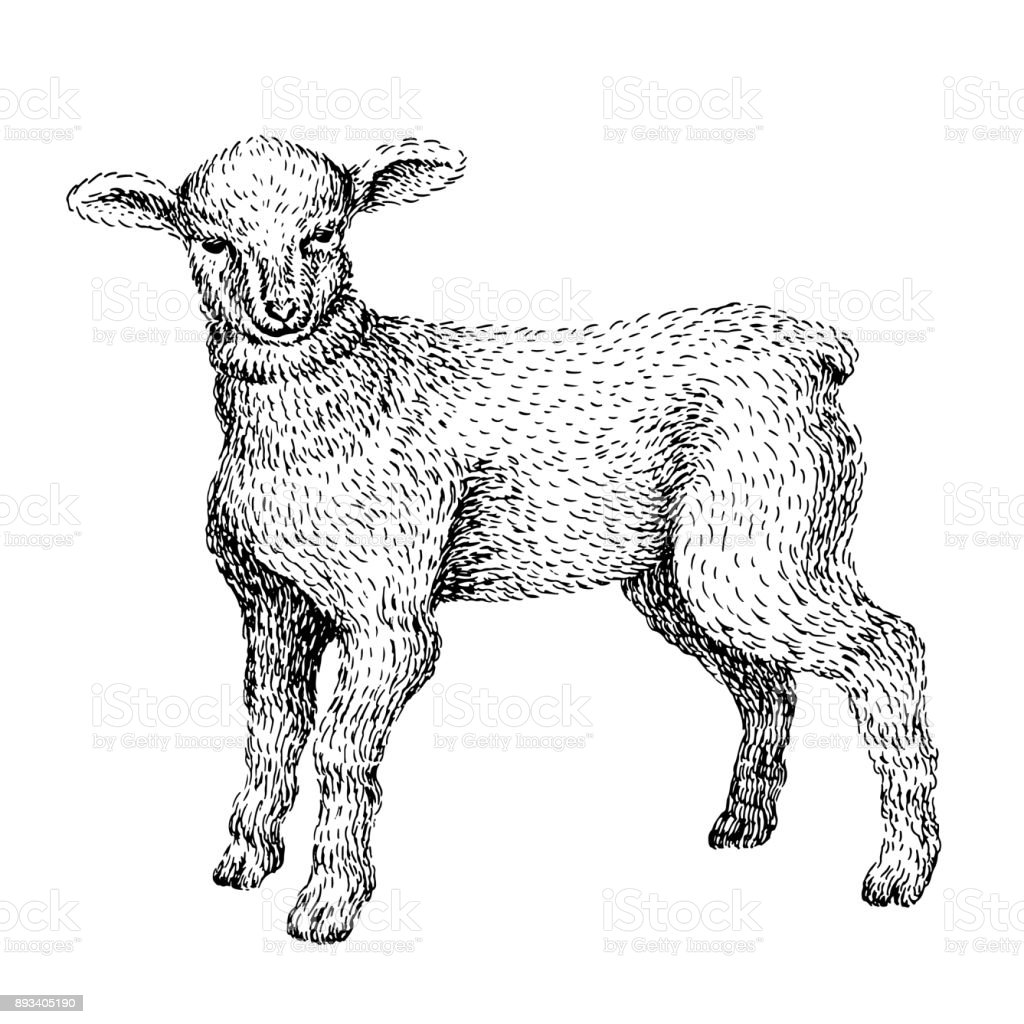 Baby Lamb Drawing Baby Farm Animal Domestic Little Cute Baby Lamb Vintage