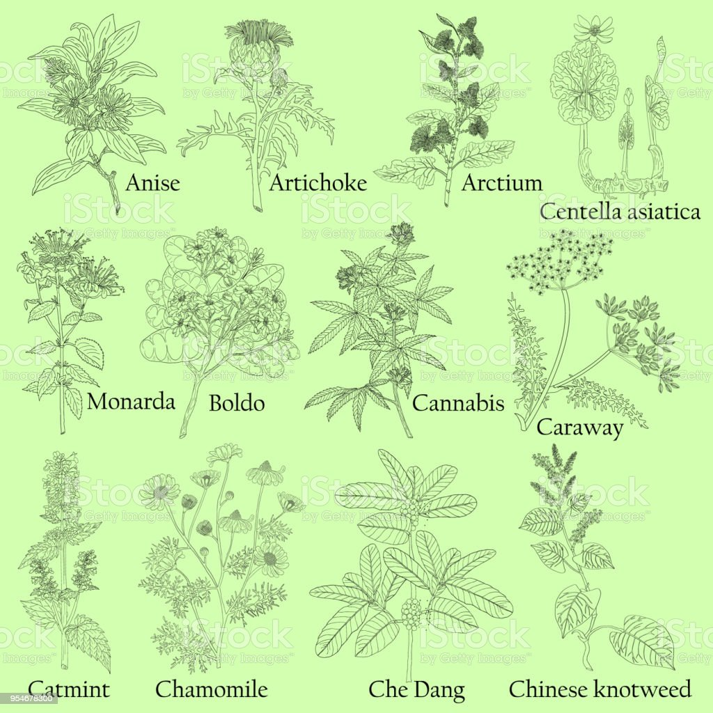 Kräuter Pflanzen Küche Herbal Illustration Of A Plants In A Vector With Flower For Use In