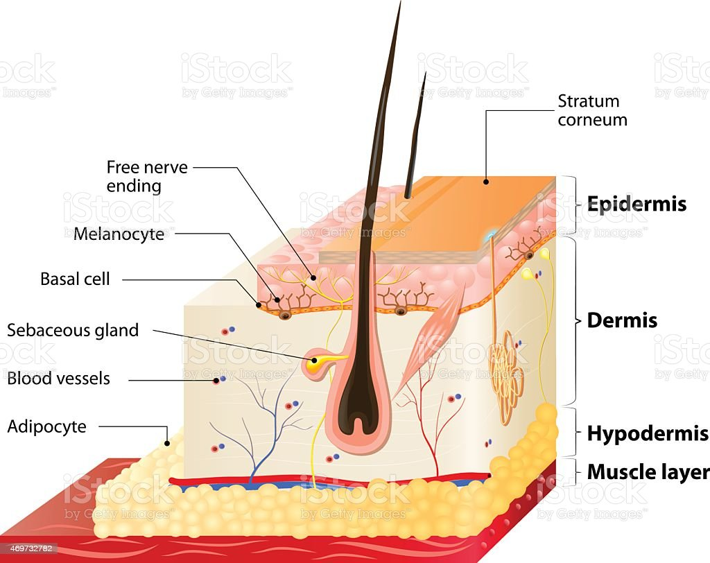 Pictures Of Skin Layers Image Collections Diagram Of