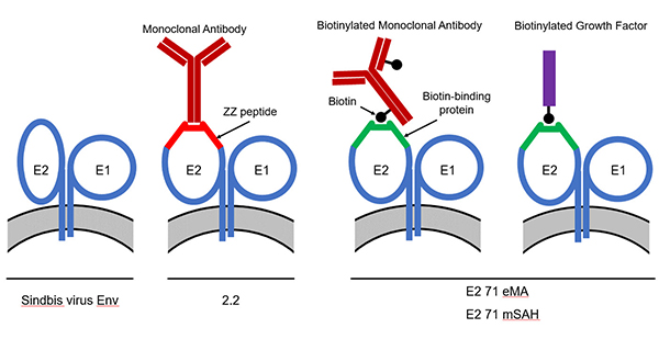 An easy and versatile method to redirect lentiviral vectors