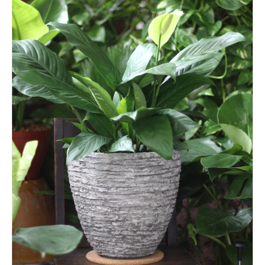 Spathiphyllum Wallisii Potted Air Purifying Spathiphyllum Wallisii Peace Lily Large