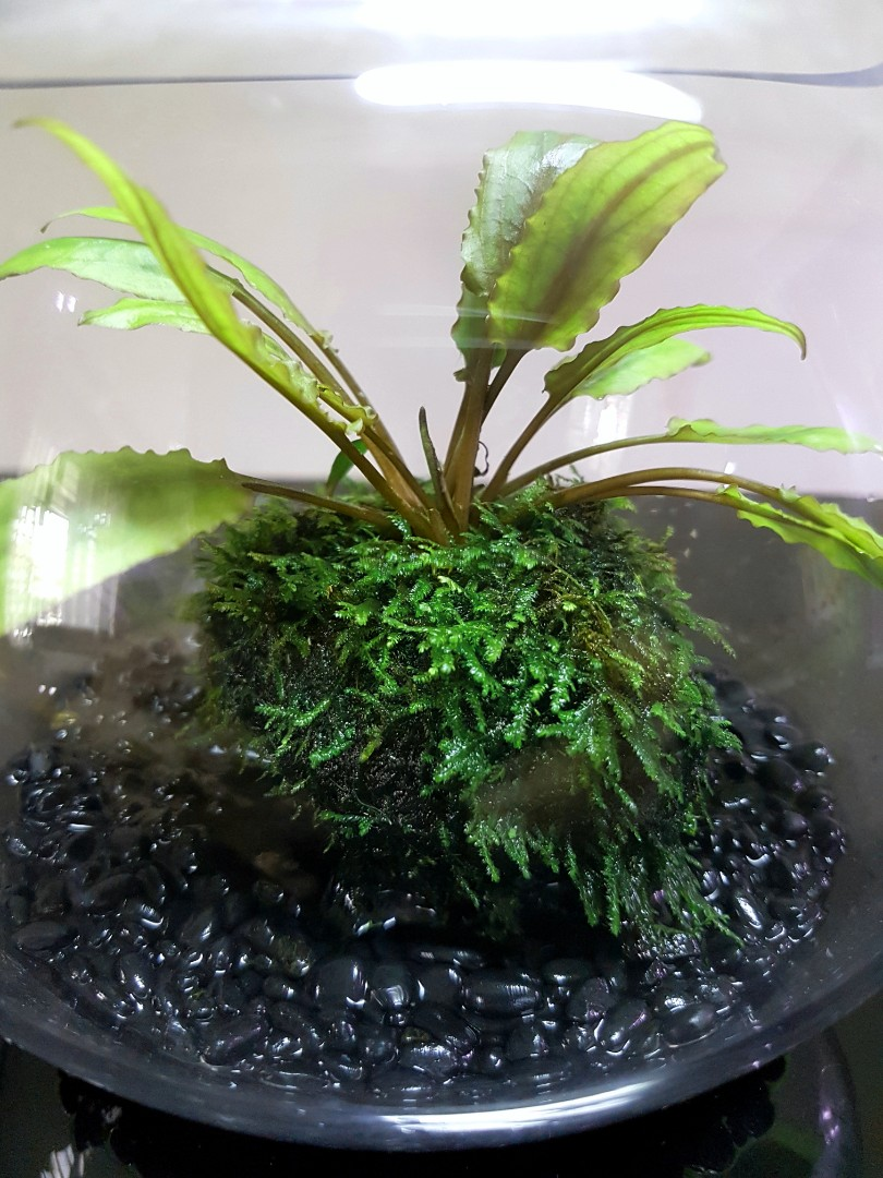 Indoor Plants For The Office Wabi Kusa Indoor Plants Office Plants Aquatic Gift Terrarium Hydroponics Moss Ball