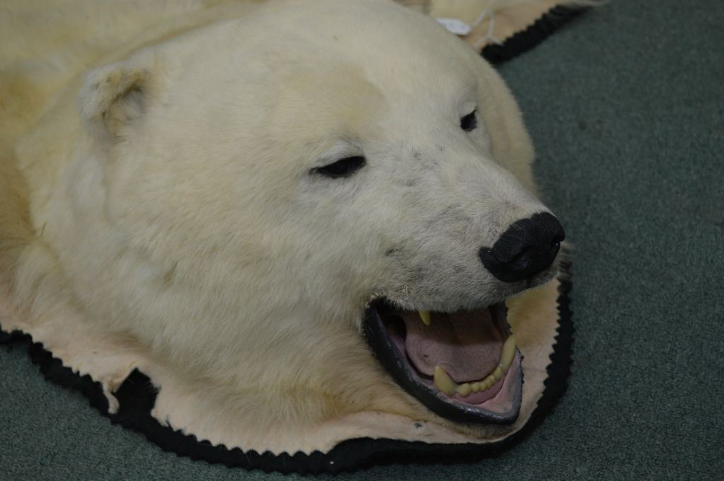 Mounted Polar Bear Rug Including Full Head Claws 90quot Tail