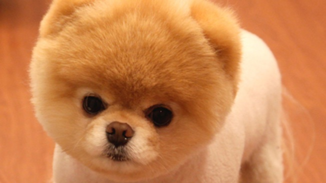 Small Cute Babies Hd Wallpapers Boo The World S Cutest Dog Dies Nbc Chicago