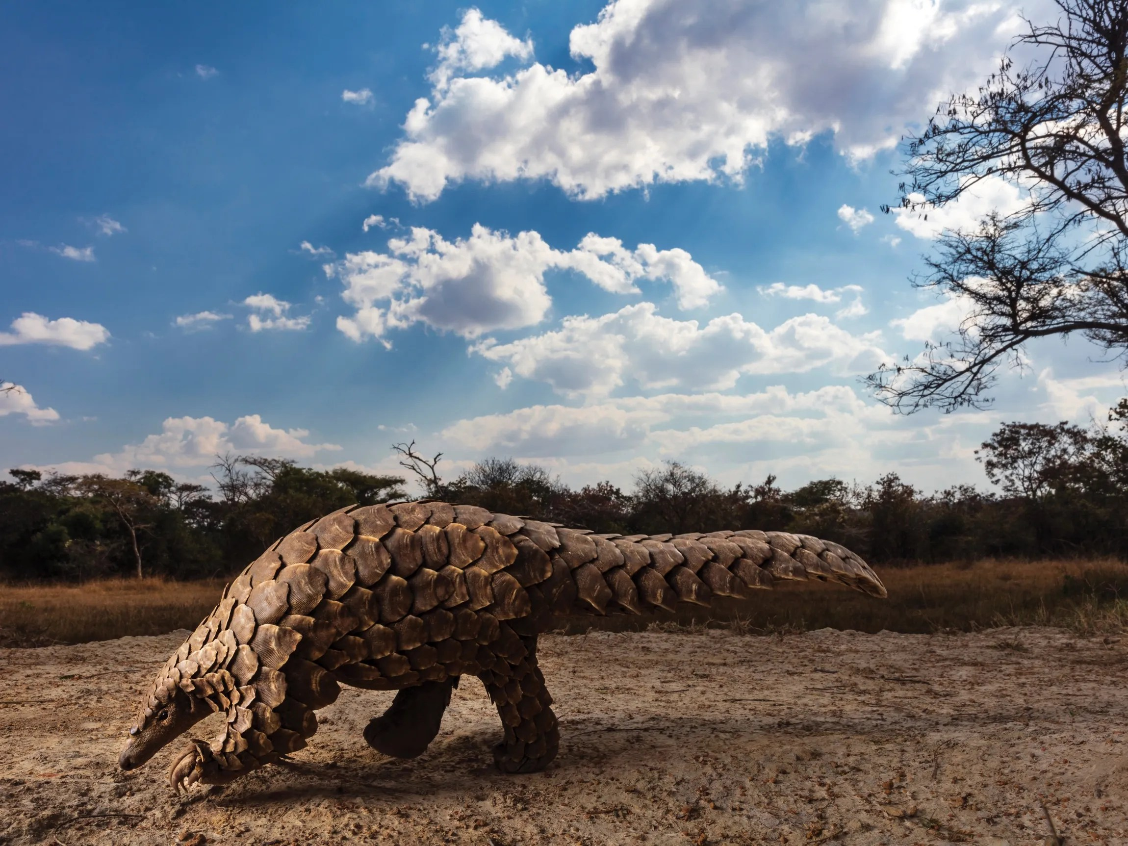Did Pangolin Trafficking Cause The Coronavirus Pandemic The New Yorker