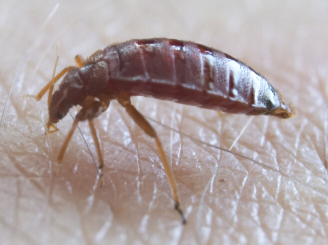 Bedbugs Aren\u0027t Just Back, They\u0027re Spreading  NPR